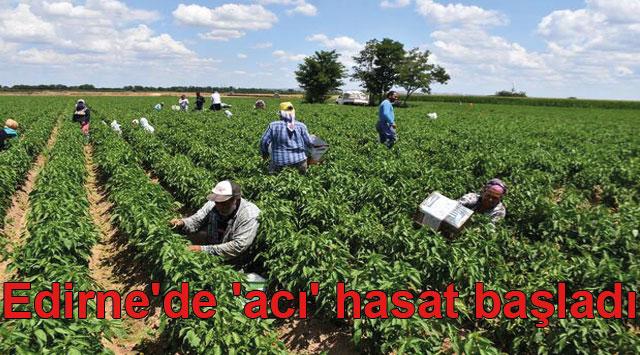 tekirdağ Edirne'de 'acı' hasat başladı