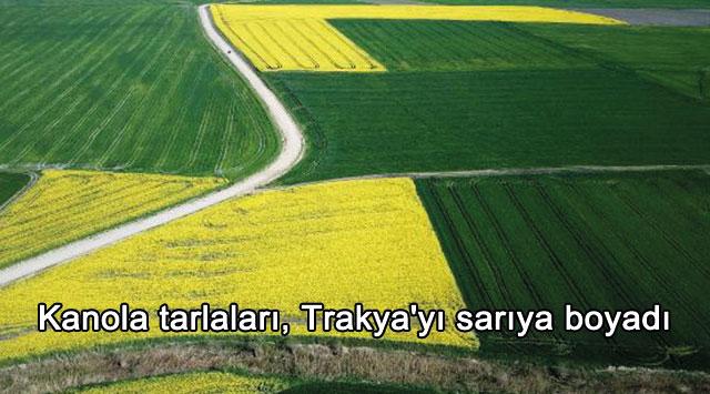 tekirdağ Kanola tarlaları, Trakya'yı sarıya boyadı