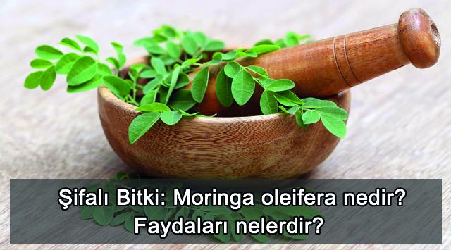 tekirdağ Şifalı Bitki: Moringa oleifera nedir? Faydaları nelerdir?
